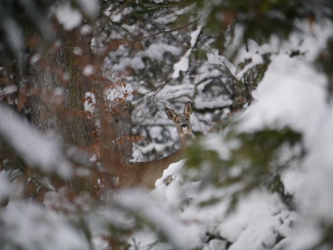 Reh im Schnee_20131222