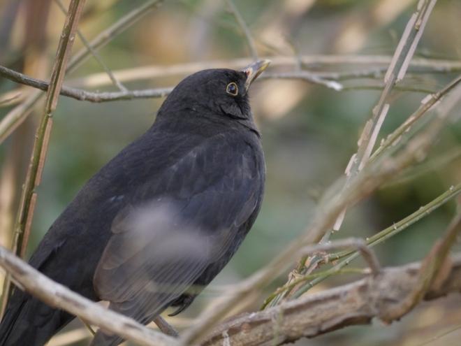 Vogelstimmen lernen